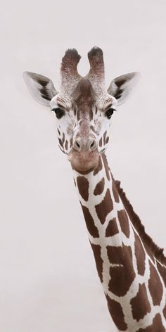 GIRaFFE Art Print by Monika Strigel