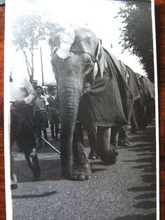 Circus Elephants    When we were young the Billy Smarts Circus would bring the Circus to Hove by train, then walk the Elephants holding each others tails to the park where the Circus would take place, it was such a colourful event, I can remember watching the clowns and pretty ladies it seemed so perfect, as childhood memories do.I found this photo amongst a lot of old ones belonging to my parents.