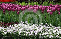 Blooming Spring Flower Bed With Tulips And Pansies - Download From Over 48 Million High Quality Stock Photos, Images, Vectors. Sign up for FREE today. Image: 78602867