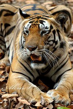 Bengal tiger India by Akris..., via Flickr