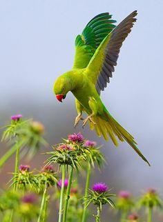 Rose-ringed Parakeet. by yaki zander)                                                                                                                                                                                 Plus