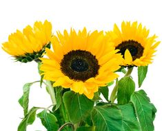 Bulk Sunflowers Box of 100 for $99.99 [Free delivery on $200 order & 2 week advance]- Wholesale Flowers | Wholesale Small Sunflowers | Wholesale Bulk Wedding Flowers at BunchesDirect