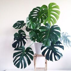 Indoor Gardening Monstera delisiosa Philodendron More - We're talking lean, green and serene. Monstera Deliciosa, Philodendron Monstera, Calathea Orbifolia, Monstera Leaves, Plantas Indoor, Decoration Plante, Best Indoor Plants, Indoor Plants Low Light, Big Leaf Indoor Plant