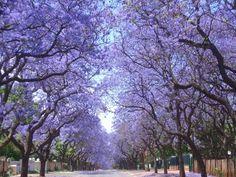 Magnificent Jacaranda Trees