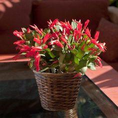 houseplants safe for cats christmas cactus