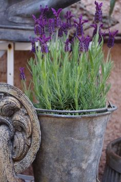 Fleur : lavande lavender and zinc bucket Herb Garden, Garden Pots, Edible Garden, Beautiful Gardens, Beautiful Flowers, Pot Jardin, Lavender Fields, Lavander, Potted Lavender