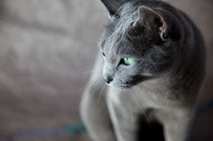 "Celebrating!  My little Russian-blue look-alike got a great doctor's report yesterday -- at the age of 16.5 years.  Sweet Abby - plugging along!  UPDATE -- she's now over 17 & got another ""atta kitty"" report at the vet yesterday!"