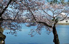 Cherry Blossom Across the Thomas Jefferson Memorial
