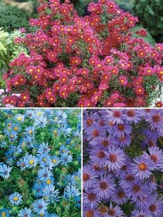 Aster Collection **One each of Aster Crimson Brocade (red,top) Aster October Skies (blue, bottom left) and Aster Woods Purple (purple, bottom right). Aster Flower, My Flower, Flower Power, October Sky, Spring Is Coming, Fruit Garden, Flowers Perennials, Gardening Tips, Bloom