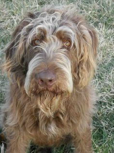 Ben is an adoptable Labrador Retriever/Standard Poodle Mix looking for a new forever home in Winchester, KY! Check out his page for more details!