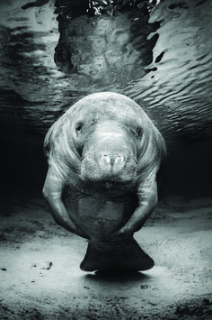 I would just love to encounter a Dugong under water like this. I've only ever seen them in the distance, as they tend to be quite shy.