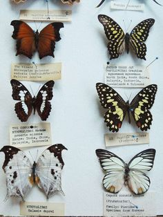 Butterfly Specimen Box | From a unique collection of antique and modern curiosities at http://www.1stdibs.com/furniture/more-furniture-collectibles/curiosities/