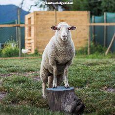 Se llama Clarita  Tiene unos ojitos enormes así como su nariz. Clarita siempre está atenta a dos cosas: a su amiga Sofía y a Benjamín y Estela dos ovejas más grandes que los han adoptado como parte de su familia. Clarita es alegre y tranquila. No tiene problemas con nadie porque no se hace problemas por nada. Su pasado de tristeza y soledad ya lo siente lejos y con un sólido apoyo emocional logró convertirse en una ovejita segura cuya mayor preocupación es disfrutar de cada día de su nueva…