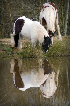 Horses Playing In The Pond gypsy vanners