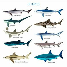 Buy Shark Set by skypicsstudio on GraphicRiver. Shark fish vector set in flat style design. Different kind of sharks species icons collection. Hai Illustration, Blue Shark, Shark Fish, Fish Fish, Leopard Shark, Species Of Sharks, Shark Tattoos, Fish Vector, Icon Collection