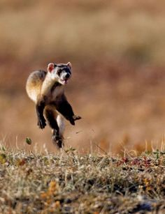 "A black-footed ferret does a ""weasel war dance"" when trying to intimidate or confuse a predator. Photo by Harlan Humphrey."
