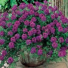 Hardy Verbena Easy-Care, No-Mow Carpet Weaves a thick, luxurious mat of foliage just 4 in. high; spreads rapidly. Absolutely loaded with royal purple flowers from early summer to frostprovides a full summer of color. Prefers full sun. Potted plants. Zones 5-9. This plant attracts butterflies.