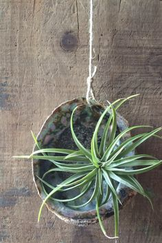 Real/ Natural Abalone Shell Hanging Air Plant Holders Source by alyss Hanging Air Plants, Indoor Plants, Shell Display, Air Plant Display, Diy Wind Chimes, Sea Crafts, Abalone Shell, Paua Shell, Upcycled Crafts