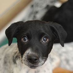 Riff Raff is available for adoption through Best Friends Animal Society. Adopt a friendly, playful, snuggly puppy&#33 All Best Friends puppies are already spayed or neutered, microchipped, vaccinated,...