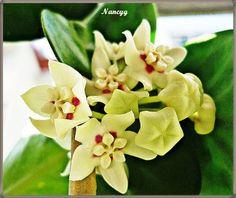 Que bella flor la de la Hoya australis,,,, y otras