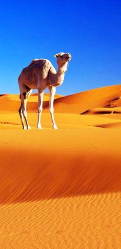 Camel in the Sahara desert, Morocco   20 Photos that Prove Morocco is a Dream Destination