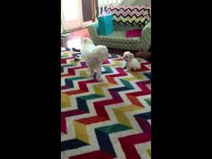 Lola and Zoey-maltipoos at play (Zoey is 4 yrs old and Lola is 9 weeks) [chevron rug is from Mohawk Home, I think]