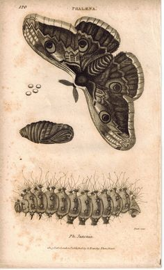 Phalana Moth Life Cycle 1809 Original Antique Engraving Print by Shaw & Griffith