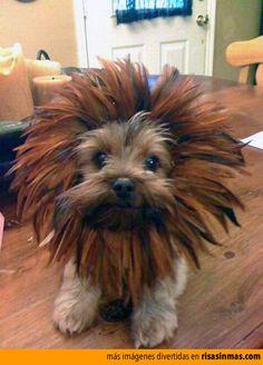 Disfraza a tu perro para Halloween. Disfrázalo de león.