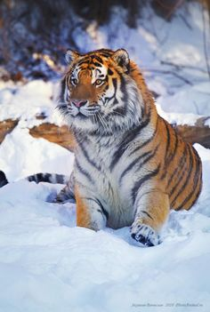 """Bengal Cats Snow Tiger Sat in The Snow: """"Wow! That Tigress over there is 'drop-down-dead' gorgeous! I must go over and introduce myself! Pretty Cats, Beautiful Cats, Animals Beautiful, Dead Gorgeous, Siberian Tiger, Bengal Tiger, Bengal Cats, Big Cats, Cute Cats"""