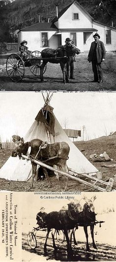 Real - Examples of moose/cariboo harnessed. The top image is Ben Moore's moose in harness, Skaguay Alaska. Gertrude in buggy, ready for the start. J.B. Moore at right. The second image is of a young moose ready to haul. The third image is a Team of trained moose, Caribou, 1942.