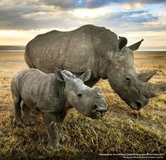 Rhinos via National Geographic