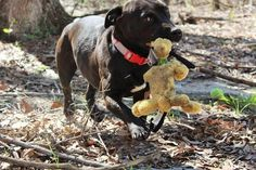 BONIFAY, FL - Bambi is an adoptable Labrador Retriever searching for a forever family.  Located @ Lucky Puppy Dog Rescue & Kennel, Inc. BONIFAY, FL
