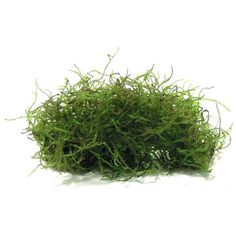 Taxiphyllum sp. 'Flame Moss' - Portion