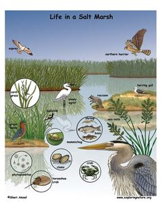 Exploring Nature Science Education Resource - Life Science, Earth Science, and Physical Science Resources for Students and Teachers Rainforest Food Web, River Of Grass, Ecosystems Projects, Aquatic Ecosystem, Science Education, Science Resources, Physical Science, Salt Marsh, Science Illustration