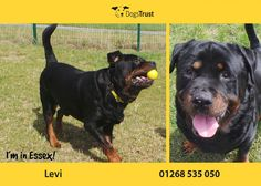 Levi is a firm favourite at Dogs Trust Essex and we are all desperate to find him is forever home.Levi would prefer a quieter home with one or two people.