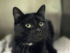 *** UNKNOWN 12/30/15 *** MARVELOUS MITTEN IS COUNTING ON YOU TONIGHT!! ...A staff member writes: Mitten is a handsome black cat that will instantly melt your heart the minute he calls out to you and makes eye contact. When he first arrived at our care center, he was a little nervous but he has completely come out of his shell and burst into a cheerful personality. If you're looking for a cat to come over and show you some love then relax with you on the couch, then Mitten is your man. All…