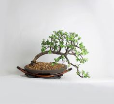Mature Dwarf Jade bonsai tree Spring'17 Jade by LiveBonsaiTree