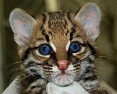 Ocelot aux beaux yeux bleue !