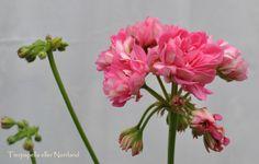 Bilder pelargoner 2 - www.lenashemsida.se