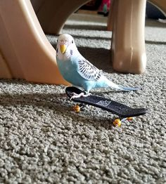 """""""Babygirl Learning to Skate!"""" Jenniver, via Facebook  Stop it, this is way too cute!!!  #parakeets #budgie #parakeet #budgies #budgiephotos #budgerigar #parakeetlover #parakeetlovers #parakeetlove #budgielover #budgielovers #budgielove #wellensittich #muhabbetkusu"""