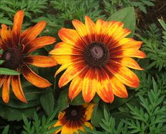 A photo gallery with each of the state flowers of the United States.: Maryland State Flower - Black-Eyed Susan
