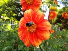 Die Dahlien blühen in der Kölner Flora | Flickr - Fotosharing!