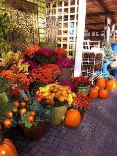 Autumn Splendor....Colorful Mums