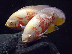 albino tiger oscars