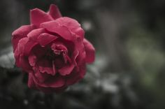 Red Rose - null