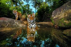 A camera trap captures 14-month-old sibling cubs cooling off in a  watering hole. Bandhavgarh National Park, India. (Photo by Steve Winter/National Geographic)