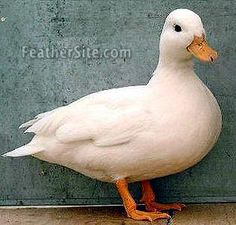 I hope our Call Ducks hatch so we can have several of these cute guys in our yard..