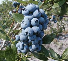 """Photo: A new variety, """"Duke"""", is noted for large fruit and high yield."""
