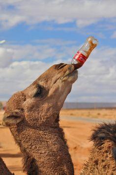 Camel drinking Coca-Cola