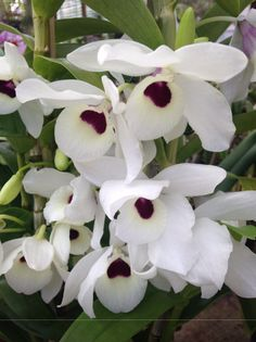 Facebook Dendrobium Nobile, Cactus, Garden Park, Wild Orchid, Exotic Flowers, Clematis, My Flower, House Plants, Floral Arrangements